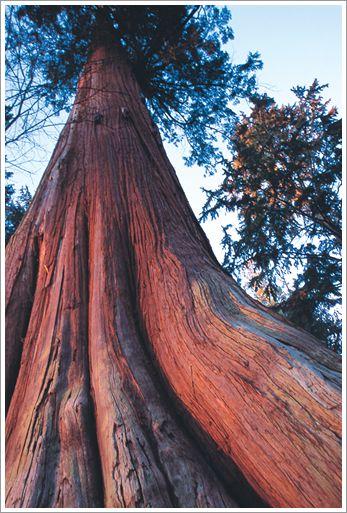 أعمدة الطوطم .. من أشجار الى تماثيل RedCTree.jpg